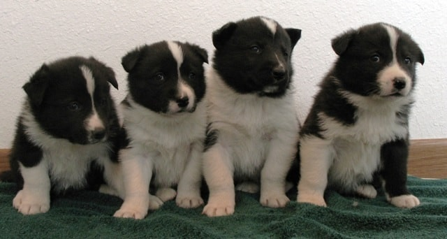 Adorable Karelian Bear Dog Puppies