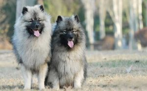 Keeshond Dogs.