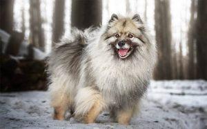 Beautiful Keeshond Dog Smiling.
