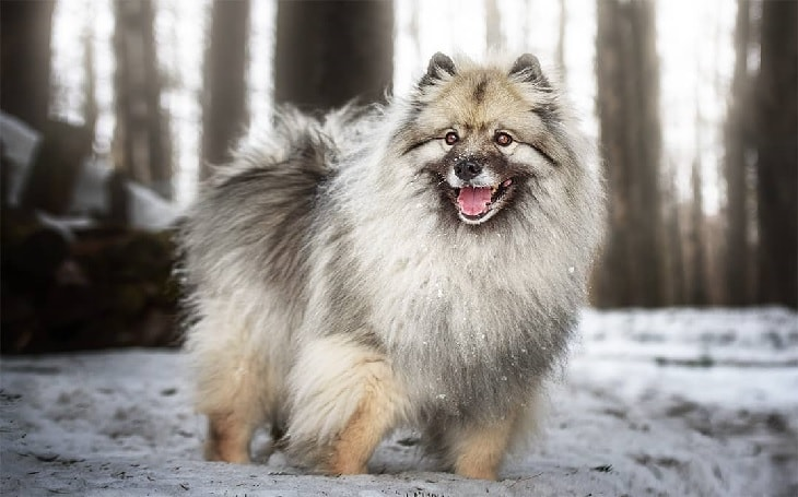 Beautiful Keeshond Dog Smiling.