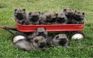 Keeshond Puppies Development Stages