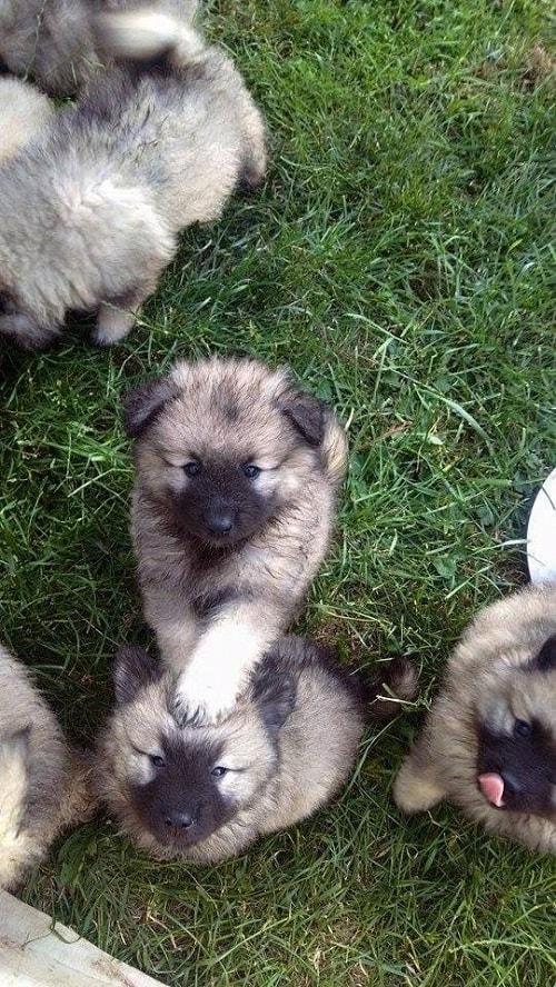 6 weeks Keeshond Puppies