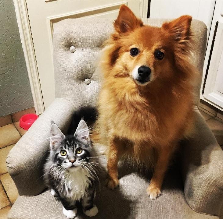Keeshond's Cat Friend.