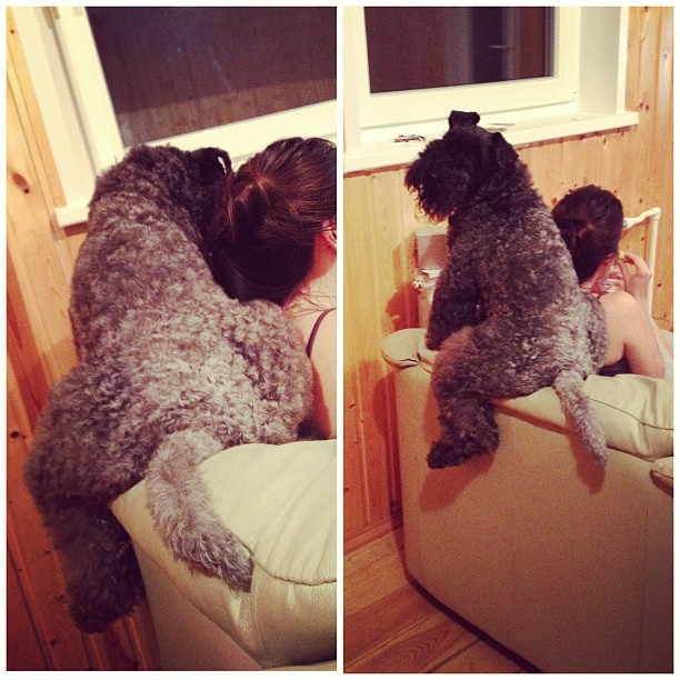 Kerry Blue Terrier Wants Attention.