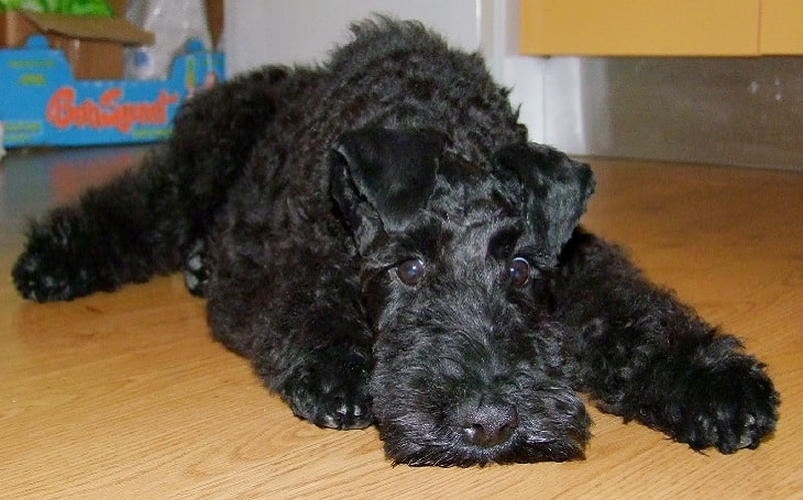 Kerry Blue Terrier Puppy development stages