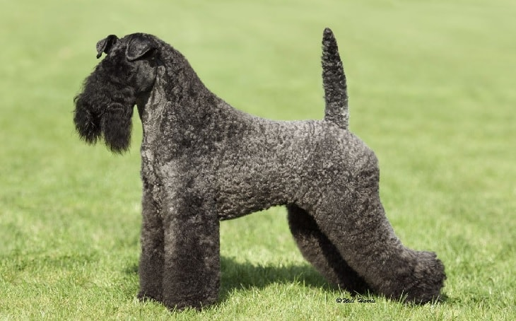 Kerry Blue Terrier Dog Breed.