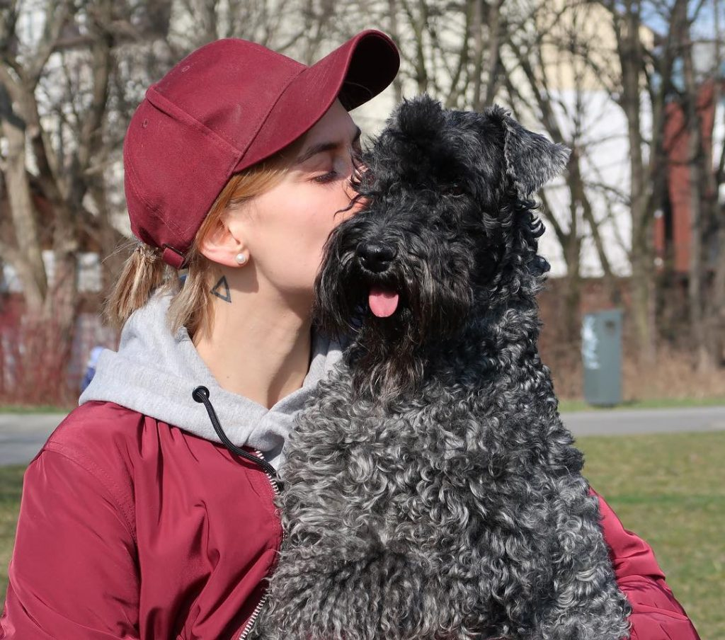 Kerry Blue Terrier needs a firm leader