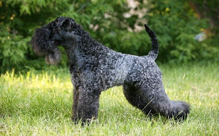 Kerry Blue Terrier Training methods