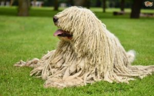 Komondor Is A Large Dog