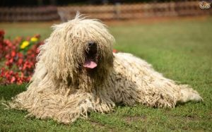 Komondor Are Child Friendly Dogs
