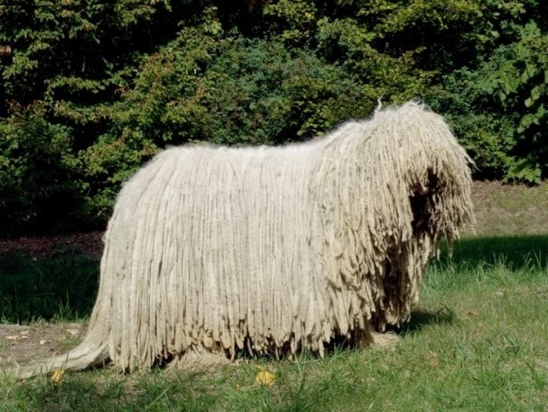 Komondor Belongs To Hungary