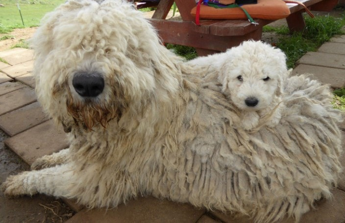 Komondor Are Protective Since Puppy