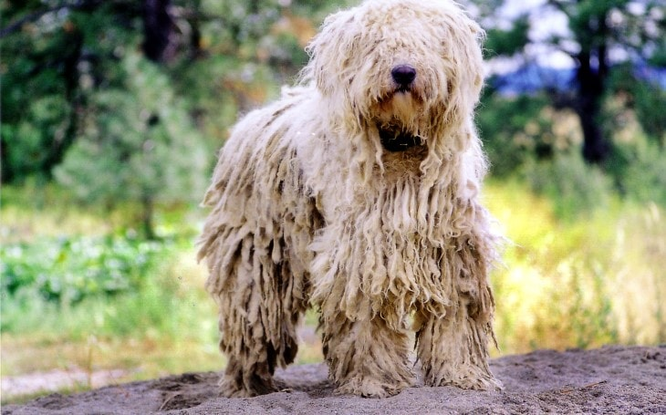 Komondor Training Is Average.