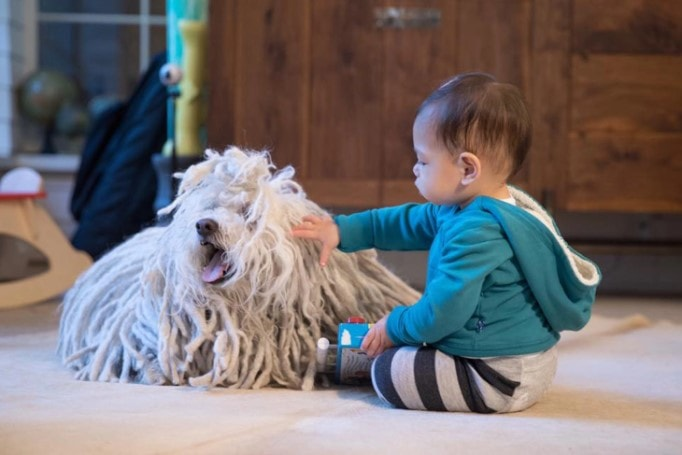 Komondor Go Well With Kids