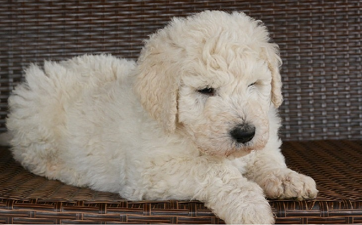 developmental stages of Komondor puppies