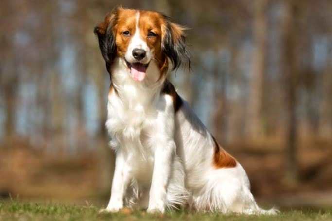 The Nederlandse Kooikerhondje Are Hunters