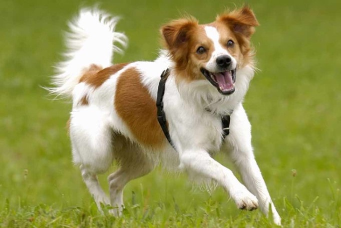 Kromfohrlander Is An Active Dog Breed