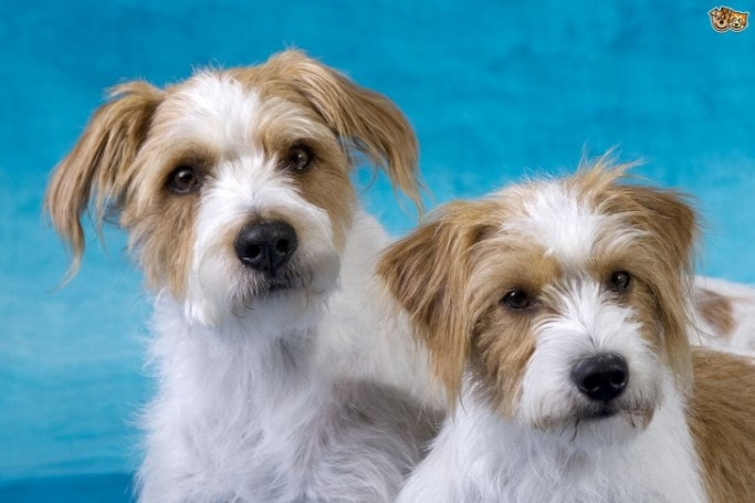 Kromfohrlander Is A Smart Dog Breed