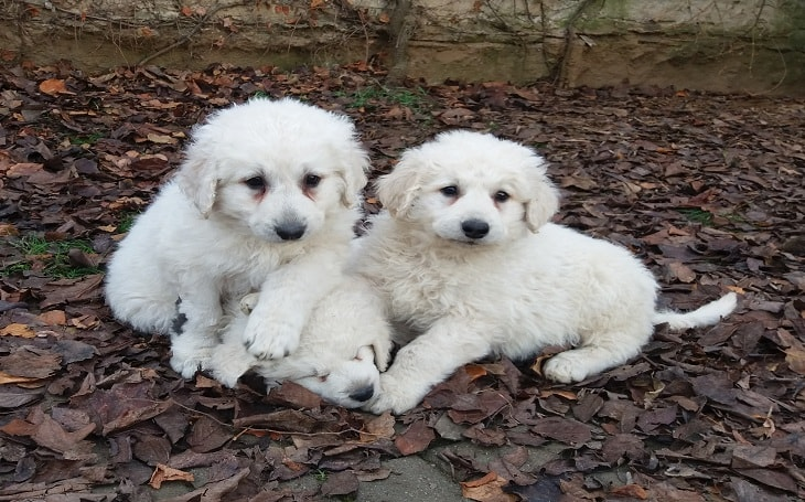 Three cute Kuvasz puppies.