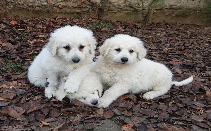 Three cute Kuvasz puppies.