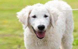 A Kuvasz dog posing.