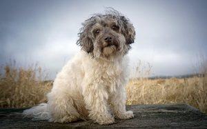 A Löwchen dog posing.