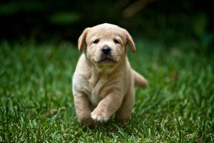 Labrador Retreiver Puppy Are  Cute And Friendly
