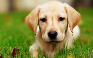 A cute Labrador Retriever puppy.