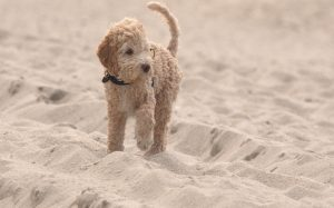 A Lagotto Romagnolo dog in sands.