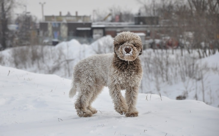 A Lagotto Romagnolo dog in the snow.