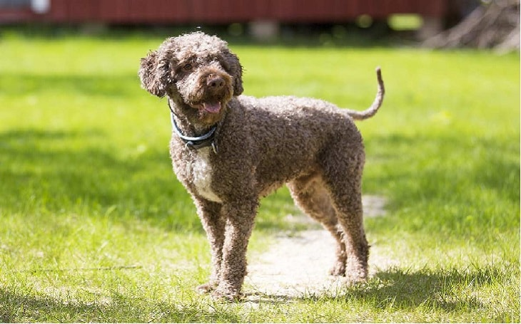 facts of Lagotto Romagnolo dog
