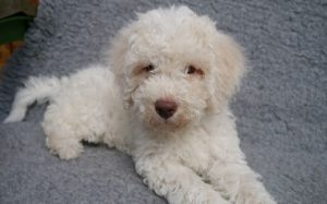 A cute Lagotto Romagnolo puppy.