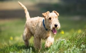 Lakeland Terrier Dog Breed.