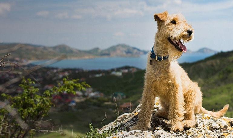 A Lakeland Terrier posing.