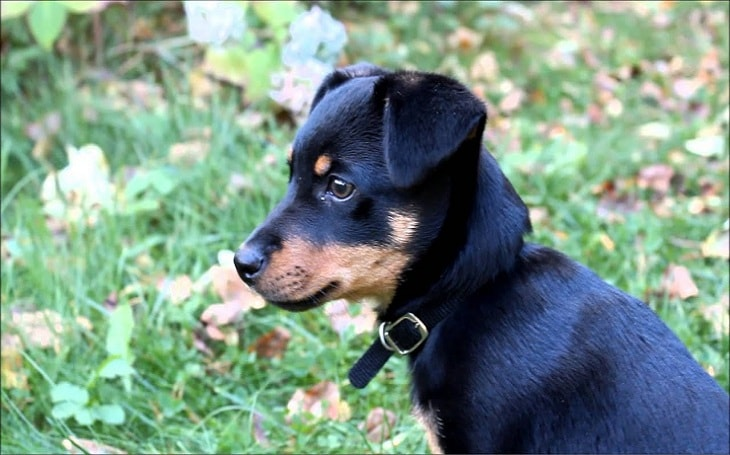 A Lancashire Heeler puppy.