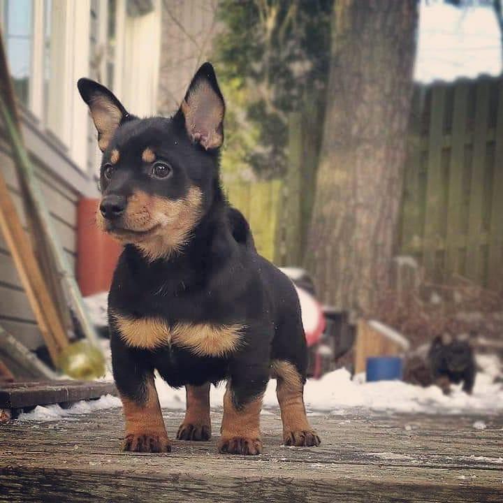 Lancashire Heeler puppies