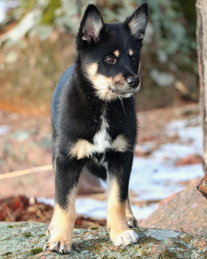 Lapponian Herder Puppy cost