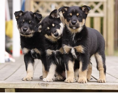 Lapponian Herder Puppies cost