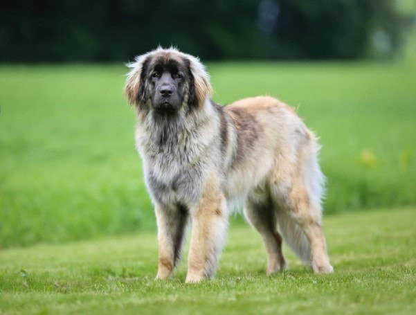 Adult Leonberger Are Very Active Ones