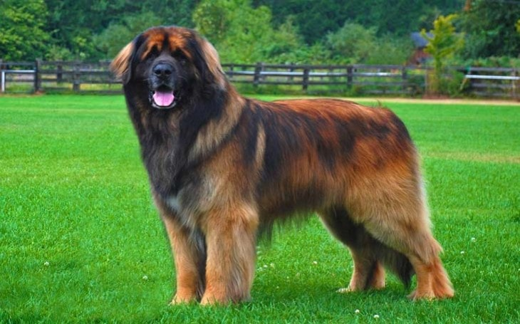 Leonberger Are Large Dogs