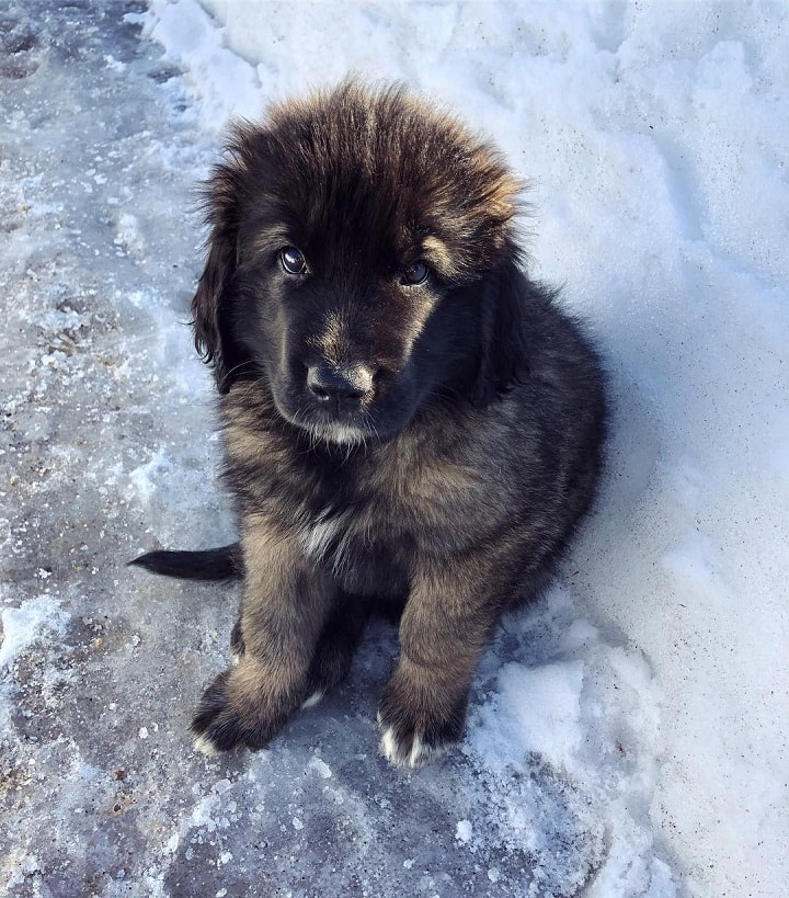 Leonberger Puppy cost