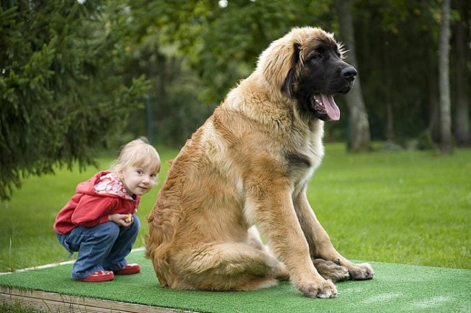 Leonberger Is A Large Dog