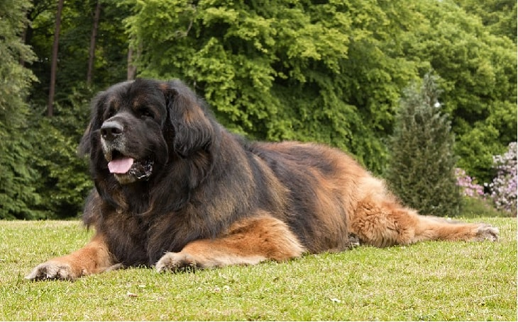 temperament of Leonberger dog