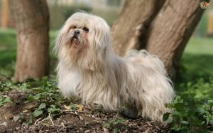 Lhasa Apso Is A Small Dog Breed