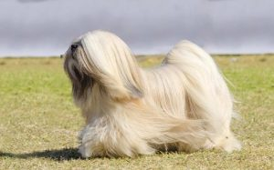Lhasa Apso History and Behavior