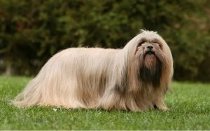 temperament of Lhasa Apso dogs