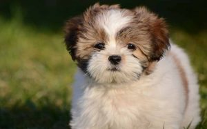A Lhasa Apso puppy.
