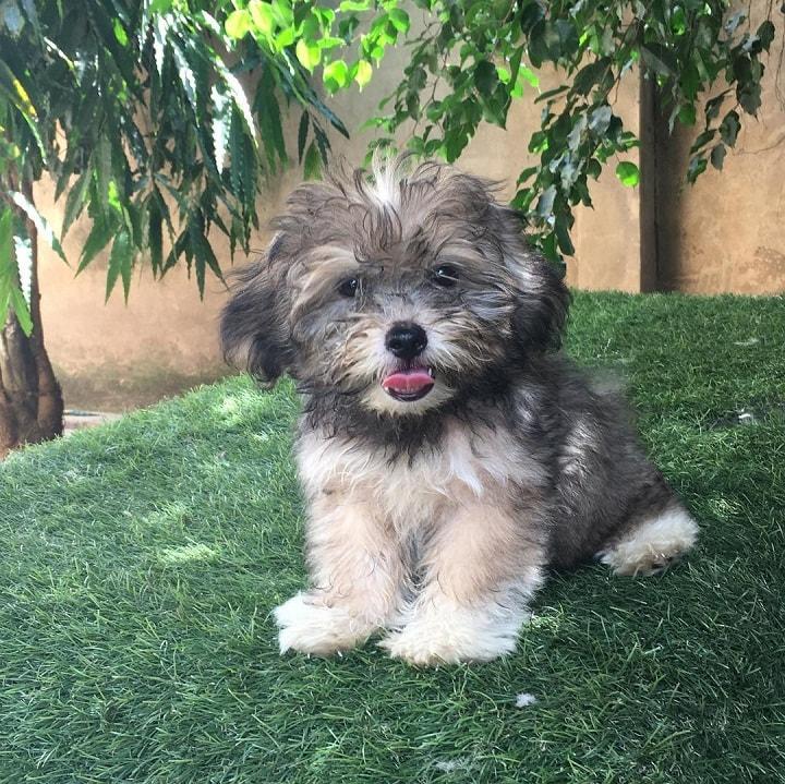 Lhasa Apso puppy sitting