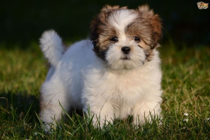 Lhasa Apso Training Should Be Started From Early Age