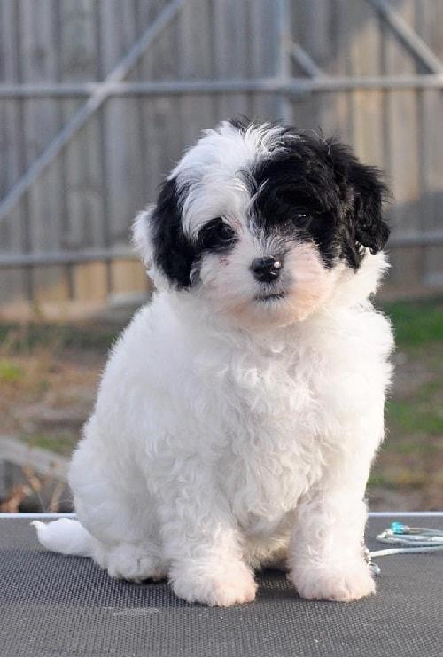 Lowchen Puppy Cost
